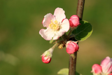 Fototapeta Profusely flowering young apple tree in a village home orchard. Spring awakening.