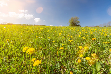 Dandelion flower meadow with lonely tree in the background in beautiful sunlight
