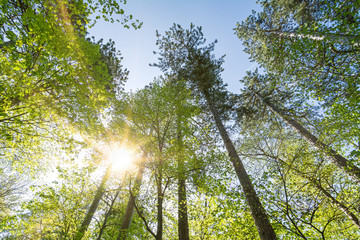 Beautiful sunrays shining through green treetops in the forest