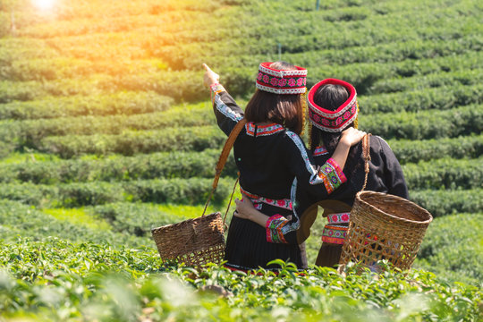 Two farmer woman in hmong traditional costume looking to green tea plantation