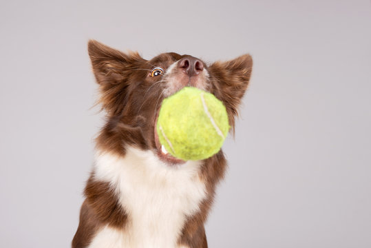 Red and white border collie catches tennis ball