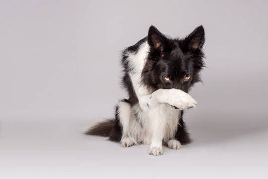 Black and white border collie dog covers face on grey background