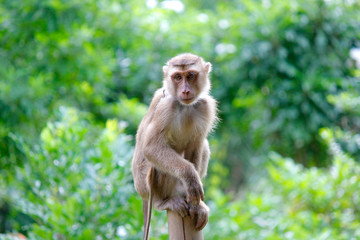 Poster de jardin Singe Portrait of macaque monkey