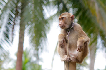 Portrait of macaque monkey