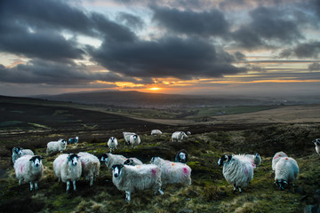 Tuinposter Schapen Flock of sheep on hilltop overlooking North Yorkshire