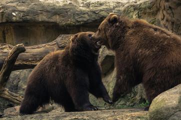 Bärenkampf