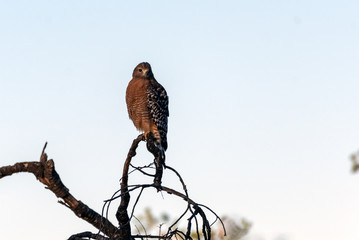 Fierce Red Shouldered Hawk rests atop dried branch perch with sharp claws while looking forward for potential prey to hunt. Wall mural