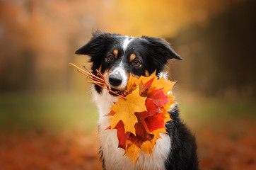 border collie dog funny walk in autumn park yellow color beautiful portrait