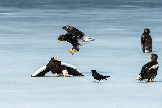 Two Steller's sea eagles fighting over fish on frozen lake, Hokkaido, Japan, majestic sea raptors with big claws and beaks, wildlife scene from nature,birding adventure in Asia,birds in flight