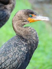 Double-crested Cormorant along Tram Road Trail to Shark Valley Observation Tower in Everglades National Park in Florida