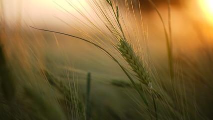 Nahaufnahme von Roggen beim Sonnenuntergang, frontal fotografiert Fotoväggar