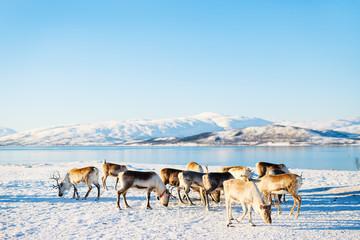Spoed Fotobehang Blauw Reindeer in Northern Norway