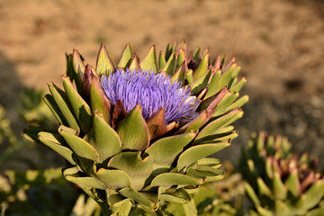 Single artichoke blooming purple  flower in a garden in Malta