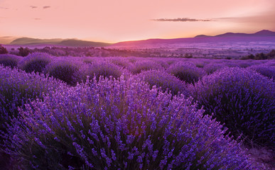 Fotobehang Snoeien Lavender fields in sunrise, Isparta Turkey