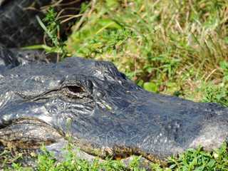 Close Up of an Alligator along Tram Road Trail to Shark Valley Observation Tower in Everglades National Park in Florida