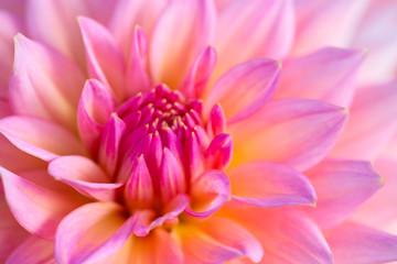 Canvas Prints Dahlia Dahlia flower