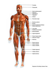 Labeled Muscles of the Human Body Chart, Anterior View