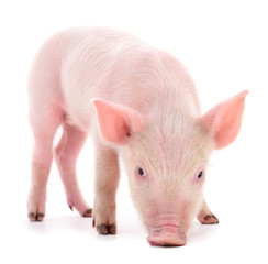 One small piglet.
