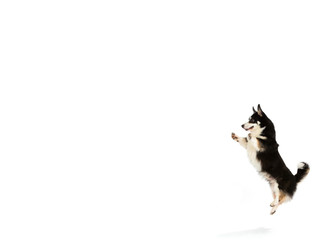 Welsh corgi jumping isolated on white. Copy space, isolated on white.