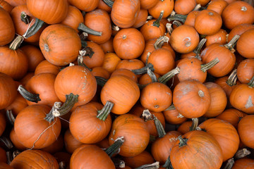 a large number of small orange pumpkins. picture of pumpkins for use as background