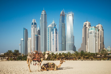 Fotorolgordijn Dubai Dubai camelson beach in front of skyscrapers in UAE