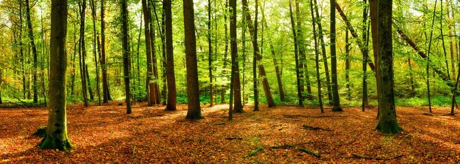 Panorama of a bright forest with big trees, a lot of autumn leaves on the forest floor and sunlight in the background