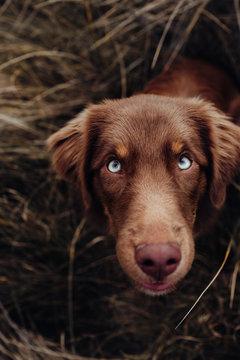 Hund mit schönen blauen Augen