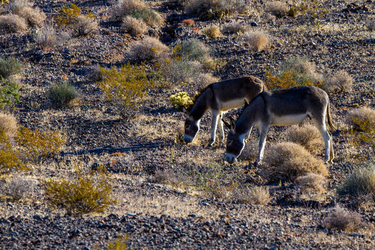 Two Wild Burros, an adult female and a juvenile, at dawn on a prairie in Nevada