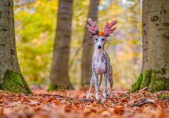 In de dag Ree Windhund / Whippet Hündin mit Rentier Geweih im herbstlichen Wald