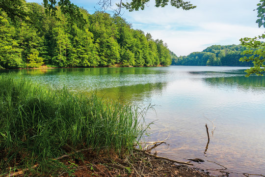 Morske Oko lake among primeval beech forest with grassy shore. beautiful Vihorlat scenery of Slovakia in summer. clean environment concept.