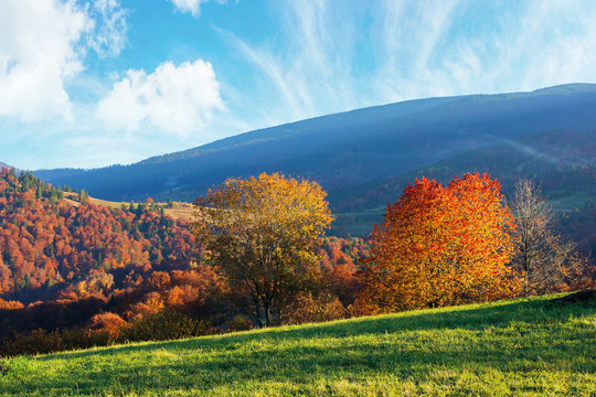 beautiful afternoon autumn landscape in mountains. sunny weather gorgeous sky. amazing nature scenery with trees in colorful foliage on the green grassy meadow
