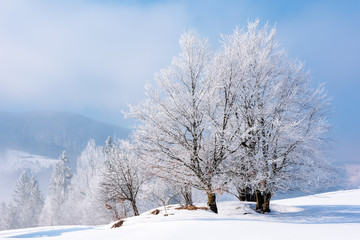 tees in hoarfrost on a snow covered meadow. fantastic winter landscape in mountains on a misty morning weather with blue sky. minimalism concept in fairy tale scenery