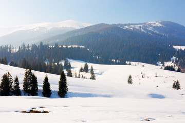 winter fairy tale in carpathian mountains. amazing landscape of borzhava ridge. snow capped vvelykiy verkh peak in the distance. spruce forest on hills. sunny weather with a bit of haze in the air