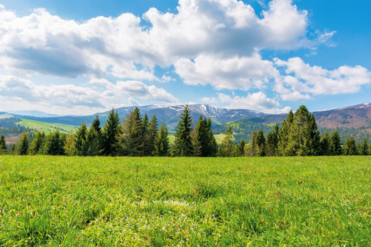 spruce forest on the grassy meadow with tiny flowers in mountains. great transcarpathian springtime nature scenery on a sunny day. borzhava ridge with snow capped top in the distance. blue sky with fl