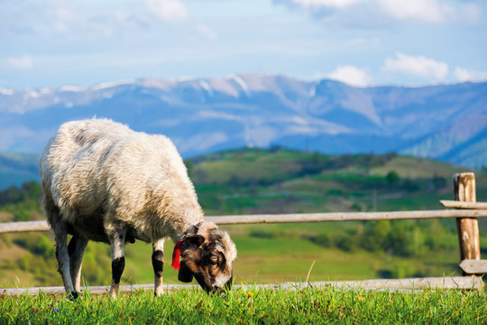 fluffy goat grazing  fresh green grass on a mountain meadow in front of the fence. distant ridge with snow capped tops beneath a blue sky with clouds. wonderful rural scenery in springtime