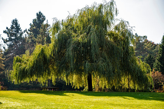 Weeping willow tree in a city park on a sunny autumn day