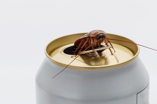 Cockroaches forage on white beverage cans.