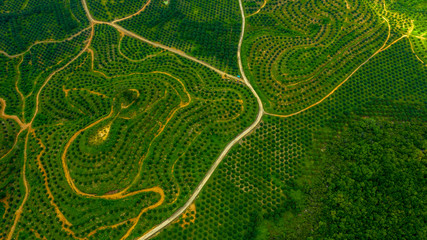 Aerial view of palm oil, agricultural industry of green oul palm tree plantation.