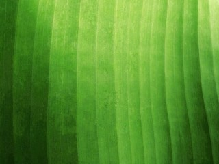 Green Banana Leaf Texture Background.