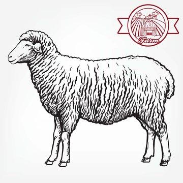 sketch of sheep drawn by hand. animal husbandry