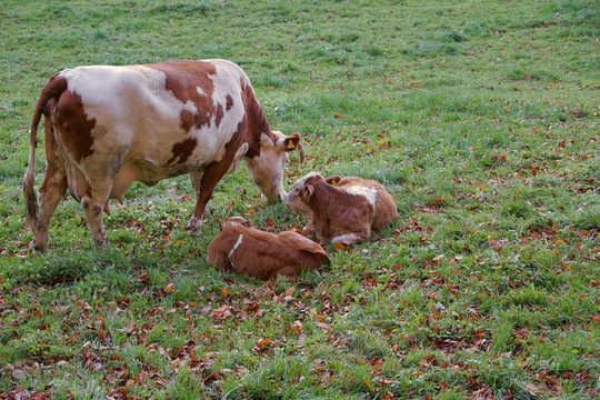 view brown cows and calf grazing in autumn meadow