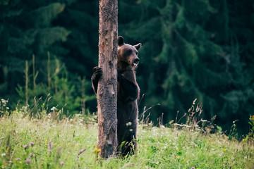 Carpathian brown bear in the wilderness