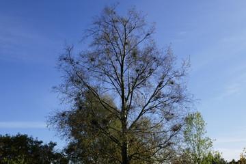 Mistletoe growing in tree