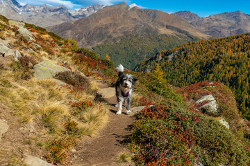 Very colourful aumtumn scene of a dog on a hiking path high up on a mountain in the italian Alps near Timmelsjoch crossing