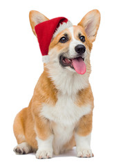welsh corgi dog smiling at santa hat