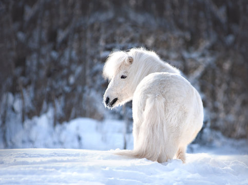 white cute shetland pony posing in the snow winter portrait