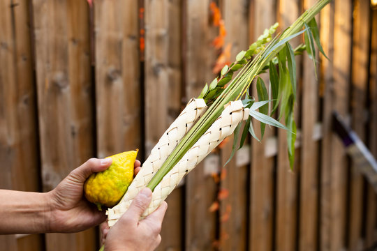 The Jewish Sukkot festival. Man holds a lulav in a sukka. Waving four species: palm, willow, myrtle, etrog. The mitzvah.