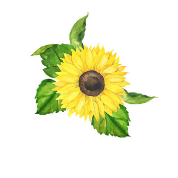 Yellow sunflower and green leaves bouquet isolated on white background. Hand drawn watercolor illustration.