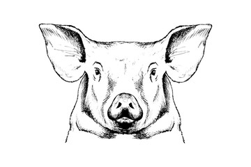 Pig sketch, outline head portrait white isolated
