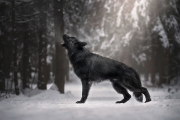 Photo sur Toile Loup Longhaired german shepherd in winter forest